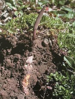Wild Cordyceps sinensis caterpillar and fruiting body