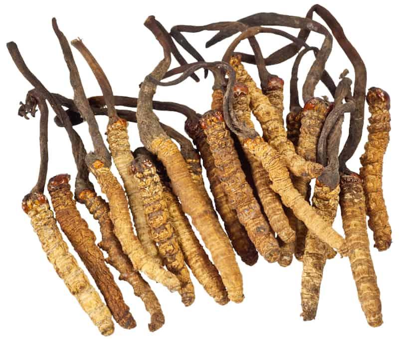 Wild Cordyceps sinensis