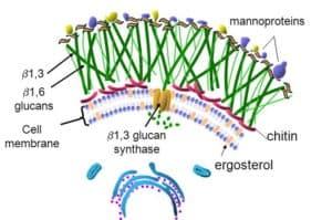 Fungi cell wall