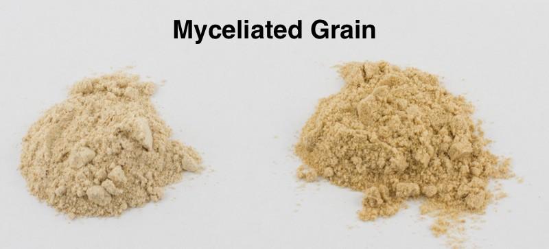 Myceliated grain color comparison on reishi and cordyceps