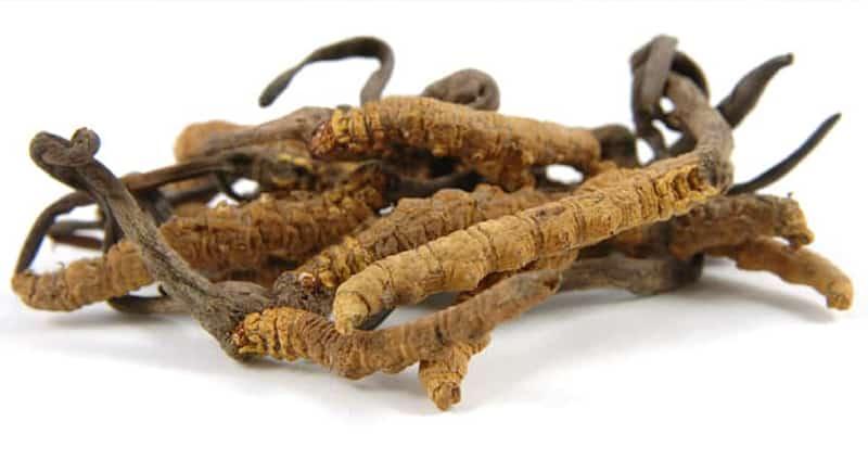 Cordyceps Caterpillar fungus