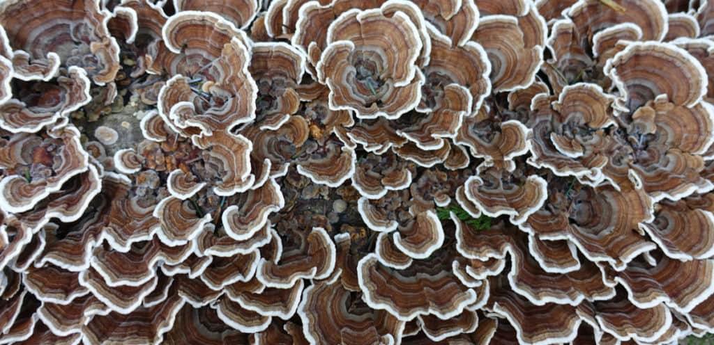 Turkey Tail Medicinal Mushrooms