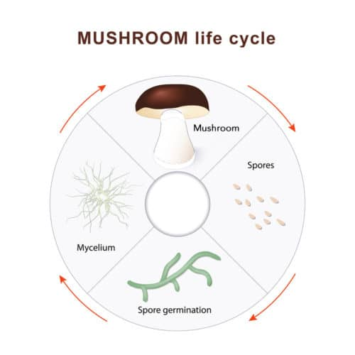 From spores to fruiting body - mushroom life cycle