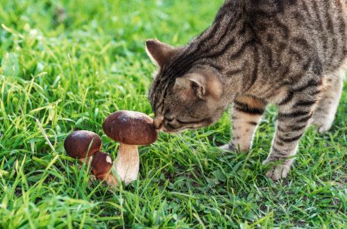 Medicinal Mushrooms for Cats
