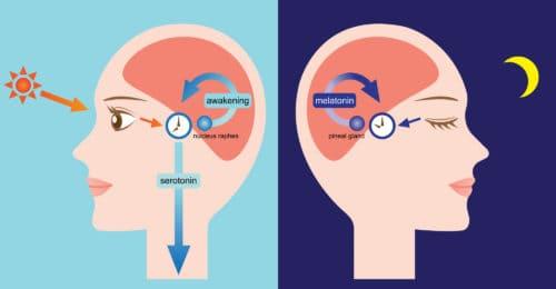 Sleep Cycle Hormones