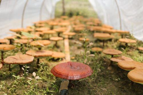 Organic Reishi Farm