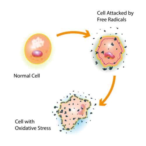 oxidative stress chaga